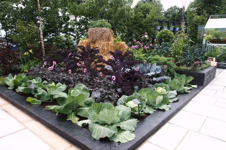 Beautiful rows of cabbages, dahlias, and kale in the RHS Kitchen Garden, which was designed by Juliet Sargeant for the RHS Hampton Court Palace Flower Show 2017.