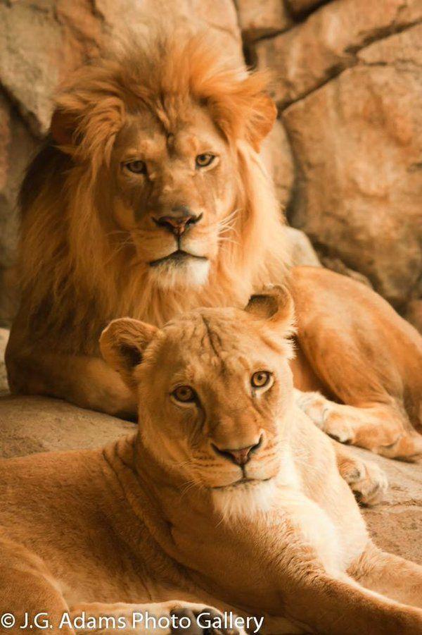 1000 Ideas About Female Lion On Pinterest Lion Lion