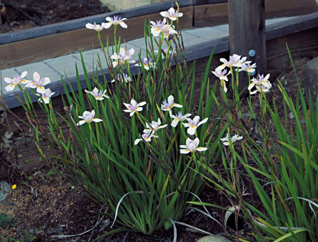 Dietes west side of house.