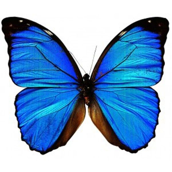 INKWEAR Blue Butterfly Tattoo ❤ liked on Polyvore