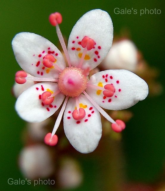 "~~Pretty Flower ~ ""London Pride"" Saxifraga urbium by Gale's Photographs~~"
