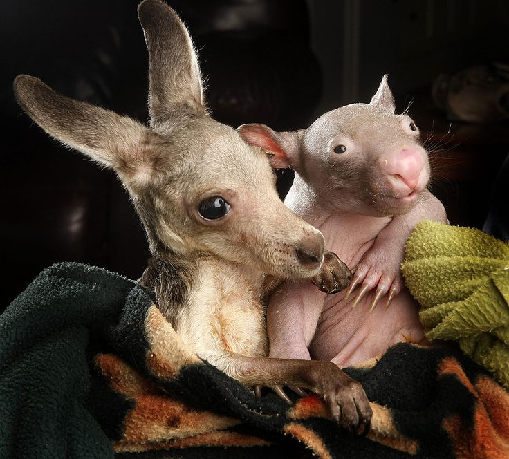 Orphaned wombat & kangaroo are best friends. I cannot take so much cuteness.