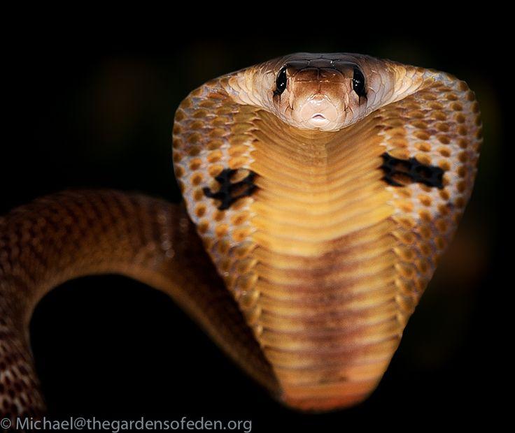 Naja naja - Spectacled cobra