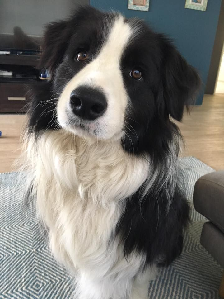 Cutie Border Collie