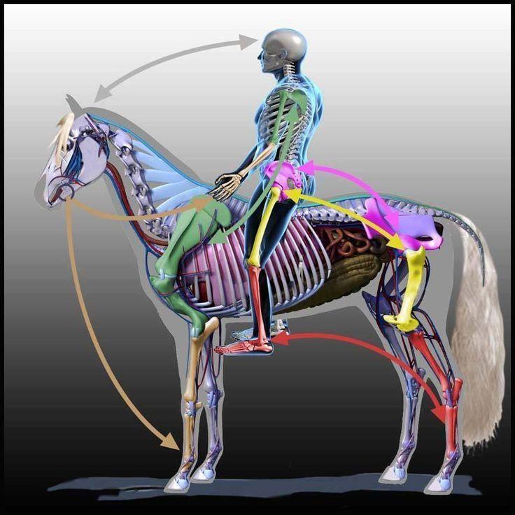 Diagrama que muestra que muestra los huesos del esqueleto del caballo y el…