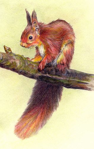 Red squirrel, pencil drawing by Andrea Moore