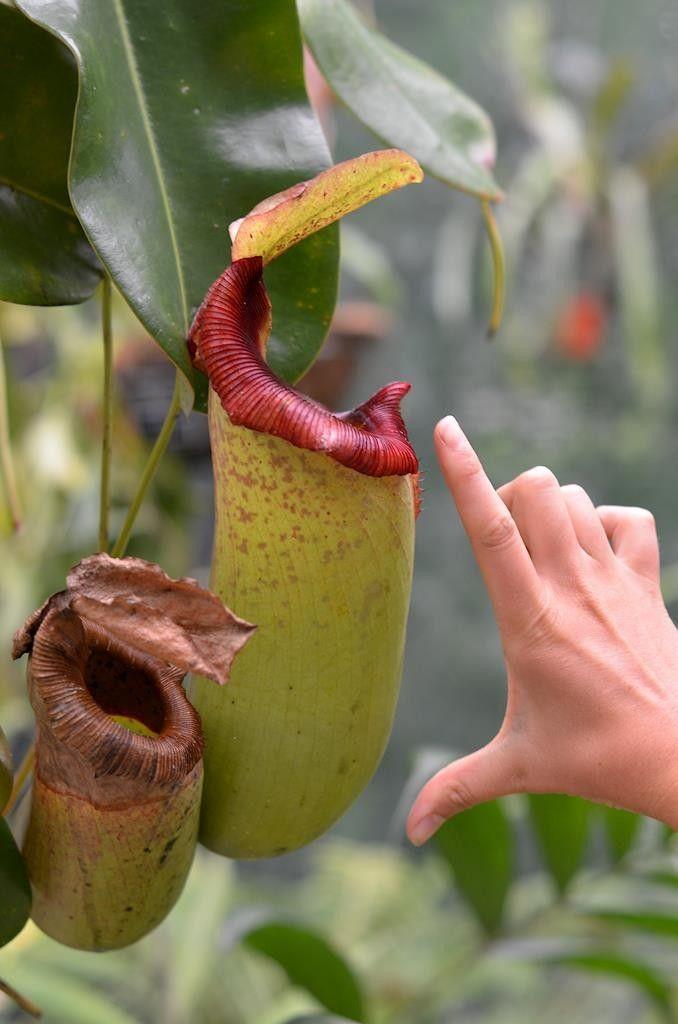 Nepenthes pitcher - Cairns Botanic Gardens