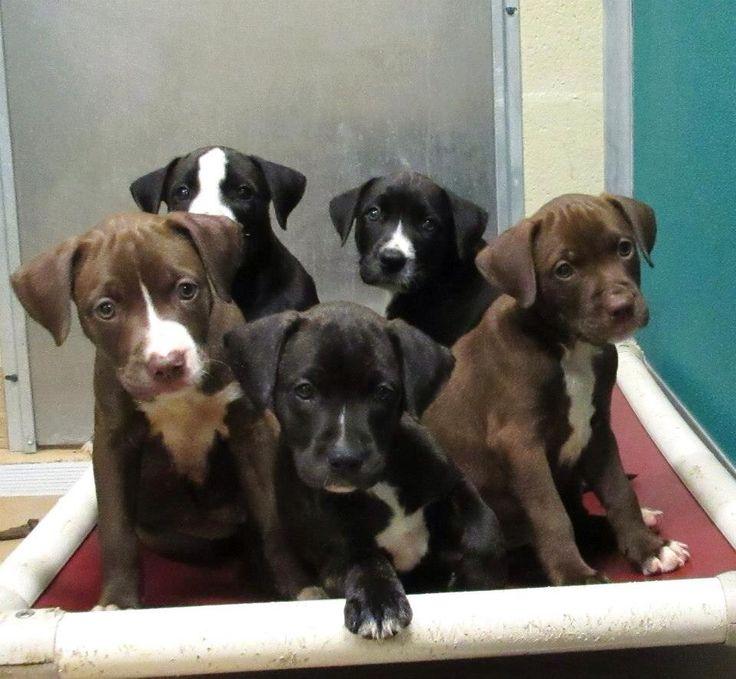 pitbull/lab mix puppies