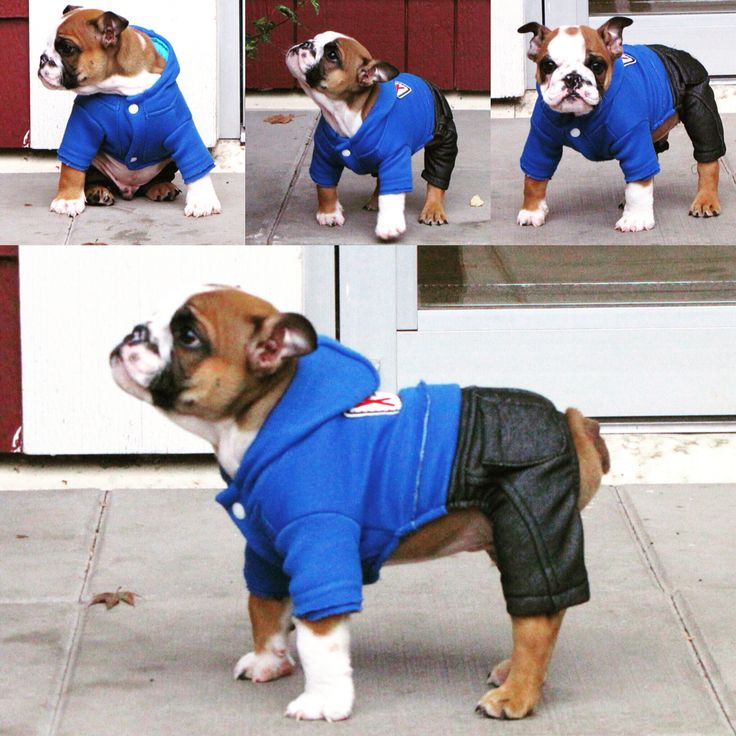 Chorizo the bulldog wearing his jeans. Can be purchased at http://mylittleamigo.com/collections/clothing/products/fashion-jeans-amigo-jumpsuit