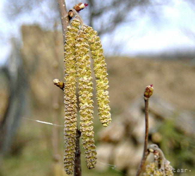 Chlad spomalil šírenie peľu, objavil sa už aj peľ topoľov a brestu - Zdravie - TERAZ.sk