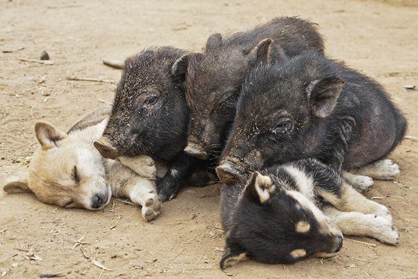fotografie-adorabili-simpatici-cuccioli-addormentati-ovunque-03