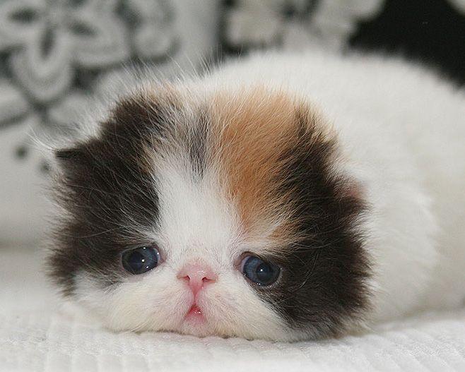 Gatitos, Mascotas, Gatitos Persas En Venta, Gatos Persas, Gatito En Venta, Gatos Lindos Perros, L Cinco Gatos, Gatos 24 7, Gatos Divertidos