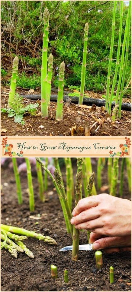 How To do it : Choose a sunny part of the garden with good drainage. Dig a trench and check the pH, which should be 6.5 to 7.5. Plant the crowns about 8 in. deep and 15 in. apart. Cover initially with 2 in. of dirt, and gradually fill the trench as the spears emerge.