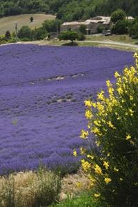 Lavender Festival in Provence France. #France #event #festival #cool #traditions #Provence #lavender #summer