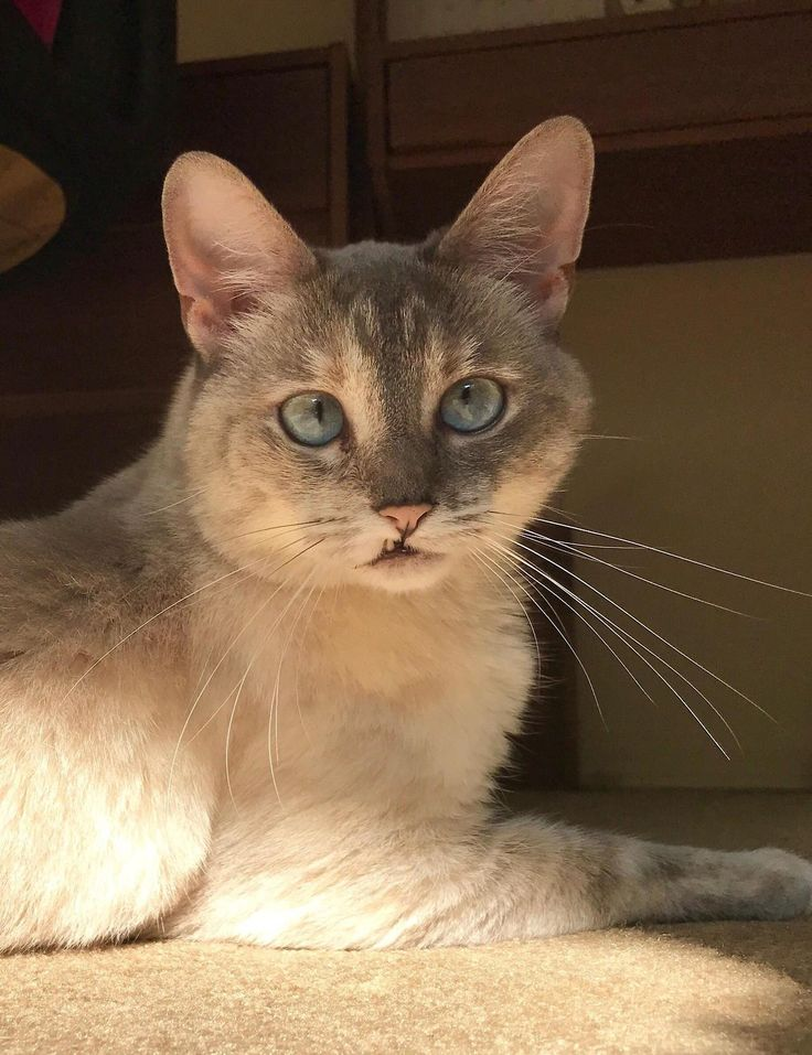 This is Trouble my parents part-Siamese rescue snagglepuss by agentscuiy cats kitten catsonweb cute adorable funny sleepy animals nature kitty cutie ca