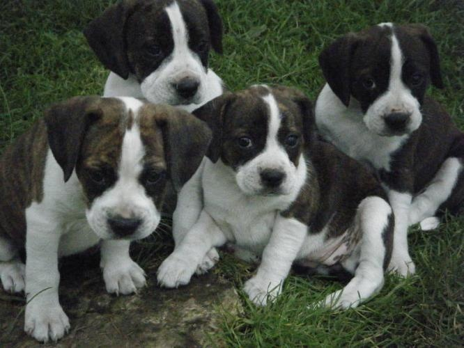 Baby Rocco's!! Boggle puppies