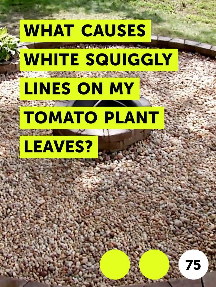 What Causes White Squiggly Lines On My Tomato Plant Leaves