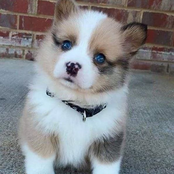 40 Adorably Cute Puppies Pomsky Puppies Baby Animals Cute Dogs