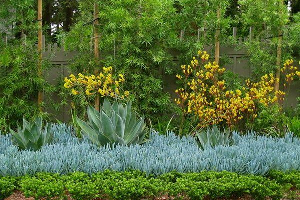 podocarpus elatus or plum pine fast growing privacy screen plant native to Qld. 2m per year 10m tall.