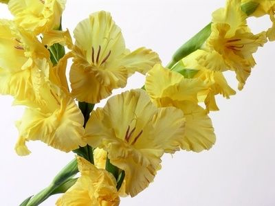 How to Grow Gladiolus Bulbs Indoors