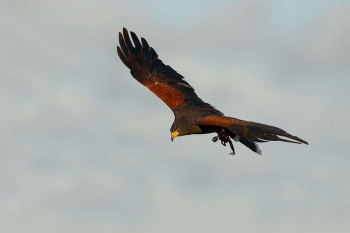 Valkenier demonstratie. Prachtige vogels met eeuwenlange historie.