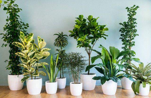12 комнатных растений, рекомендованных для гостиной 0