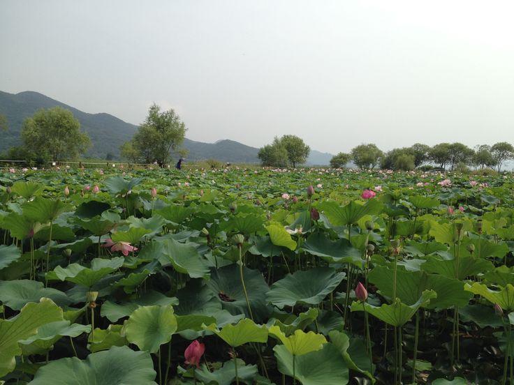 A quiet lotus festival, at Semiwon, South Korea