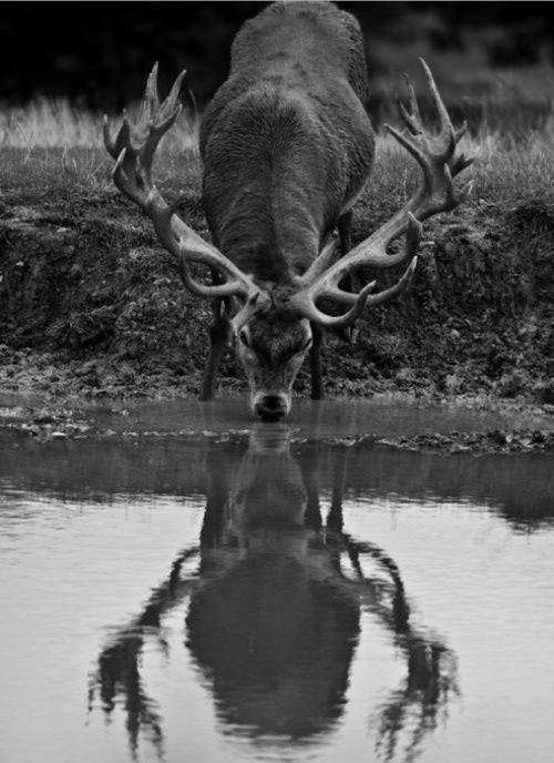 European Red Stag Deer, Killarney National Park, Ireland