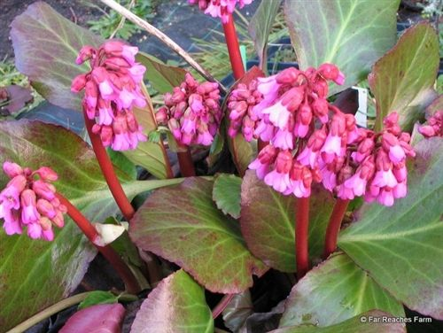 Bergenia 'Eric Smith' - for dry shade