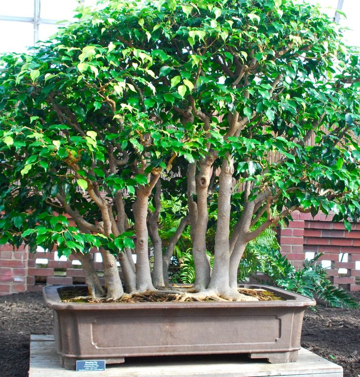 weeping fig bonsai ficus benjamina which has been in. Black Bedroom Furniture Sets. Home Design Ideas