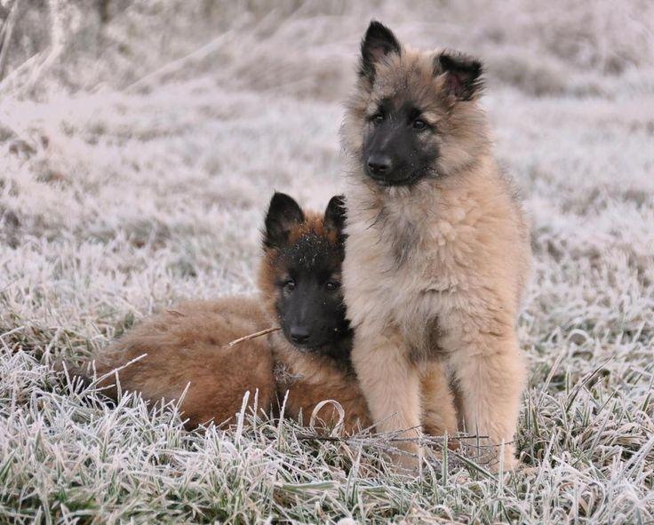 Tervueren puppies 11 weeks