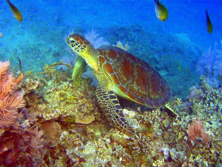 Tortue du lagon de Mayotte
