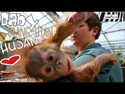 BABY orangutan HUJAN at KREFELD ZOO   zoos.media - YouTube