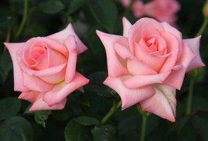 Bride Hybrid Tea Rose - Very Fragrant