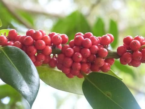 peterorchardnod: My 'high five' from Studland! It looks like a good year for holly berries https://t.co/0GpYub5qBh