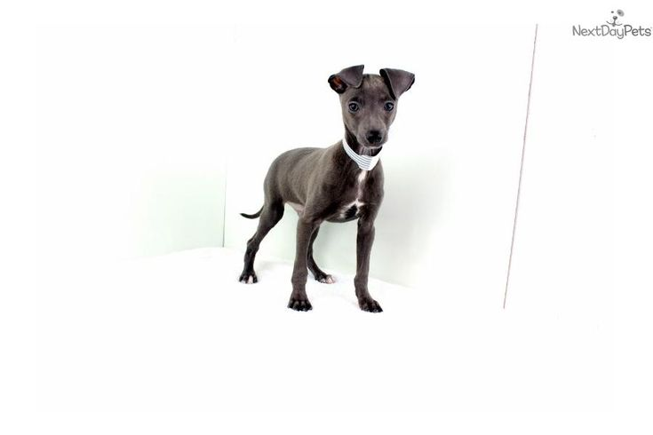Best 25+ Italian greyhound for sale ideas on Pinterest