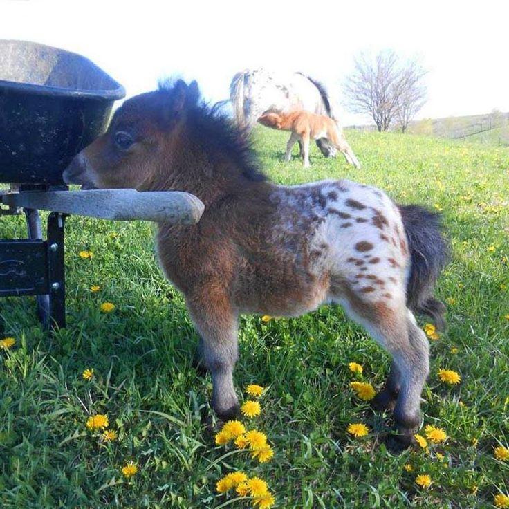 Ever seen a tiny baby Appaloosa mini horse?