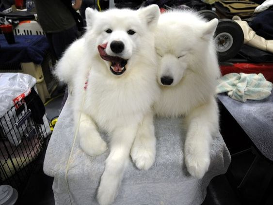 samoyed doggies!!!  I had a Sammie from my 11th birthday, to the day I graduated from college, when I was 22, and she passed away.  I miss her, and I think years later, am ready for another.Animal Pictures, Funny Pictures, Funny Birds, Pets, Dogs Show, Westminster Dogs, Samoyed Dogs, Funny Animal, Samoyed Doggie