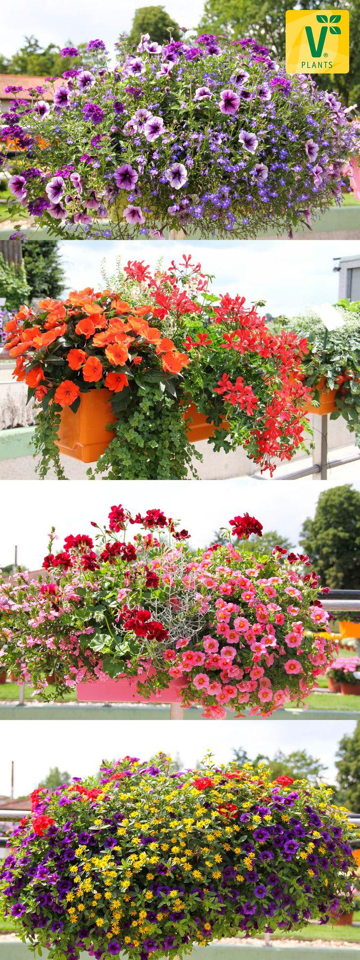 Brilliant Balkonkästen Bepflanzen Beispiele Foto Von Viele Bunt Bepflanzte Balkon- Und Blumenkästen Findest