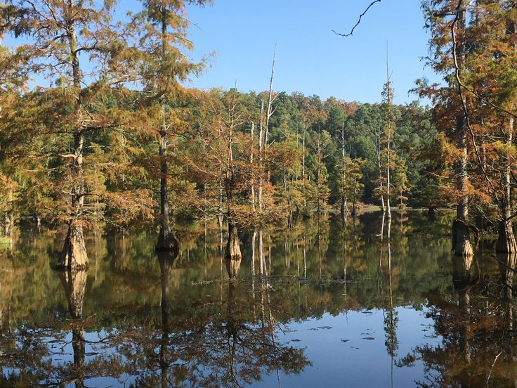 Baldcypress trees in the Little Maumelle River Little Rock AR USA. [OC] [3264x2448]