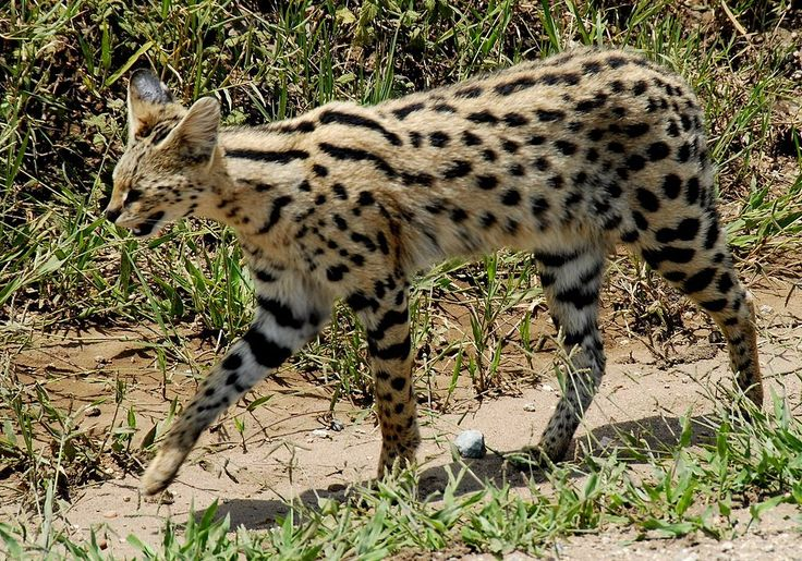 Leptailurus serval -Serengeti National Park, Tanzania-8 - Serval - Wikipedia, the free encyclopedia