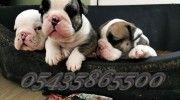 satılık ingiliz bulldog http://english-bulldog.yavruilani.com/satilik-ingiliz-bulldog/