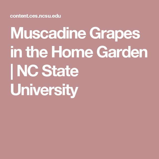 Muscadine Grapes in the Home Garden | NC State University