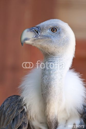 White young baby #vulture
