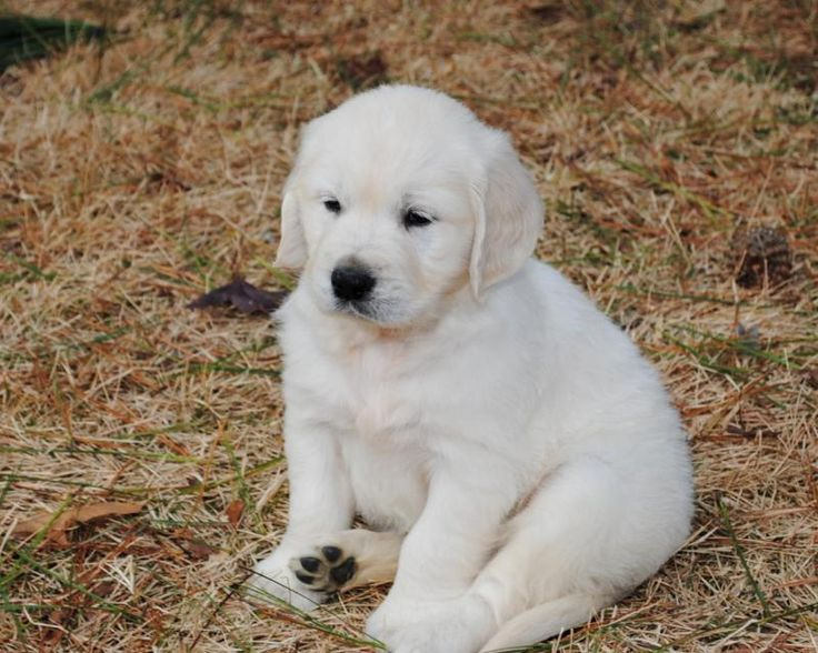 English Cream (white) Golden Retriever Puppy