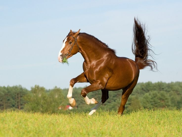 1000+ images about Chestnut Horses on Pinterest - photo#38