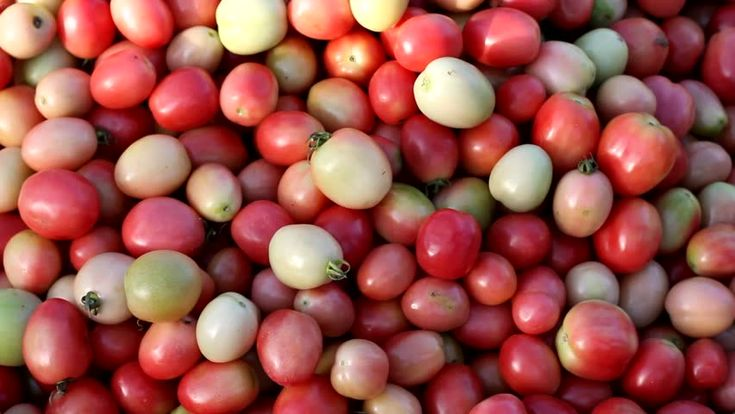 Tomato Selection (Fresh Vegetable And Food Concept) Footage, Morning Market, Champasak, Laos  Stock Footage Video 23144440 - Shutterstock