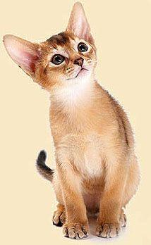 Abyssinian cat breeder az