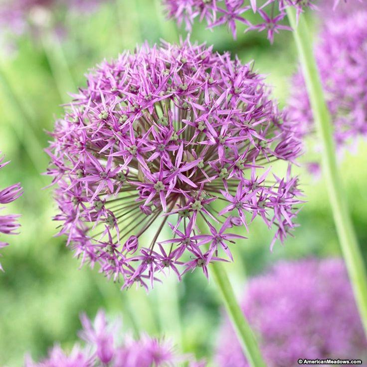 78 best Flowers - Allium images on Pinterest Flower beds, Allium - allium beetstecker aus metall