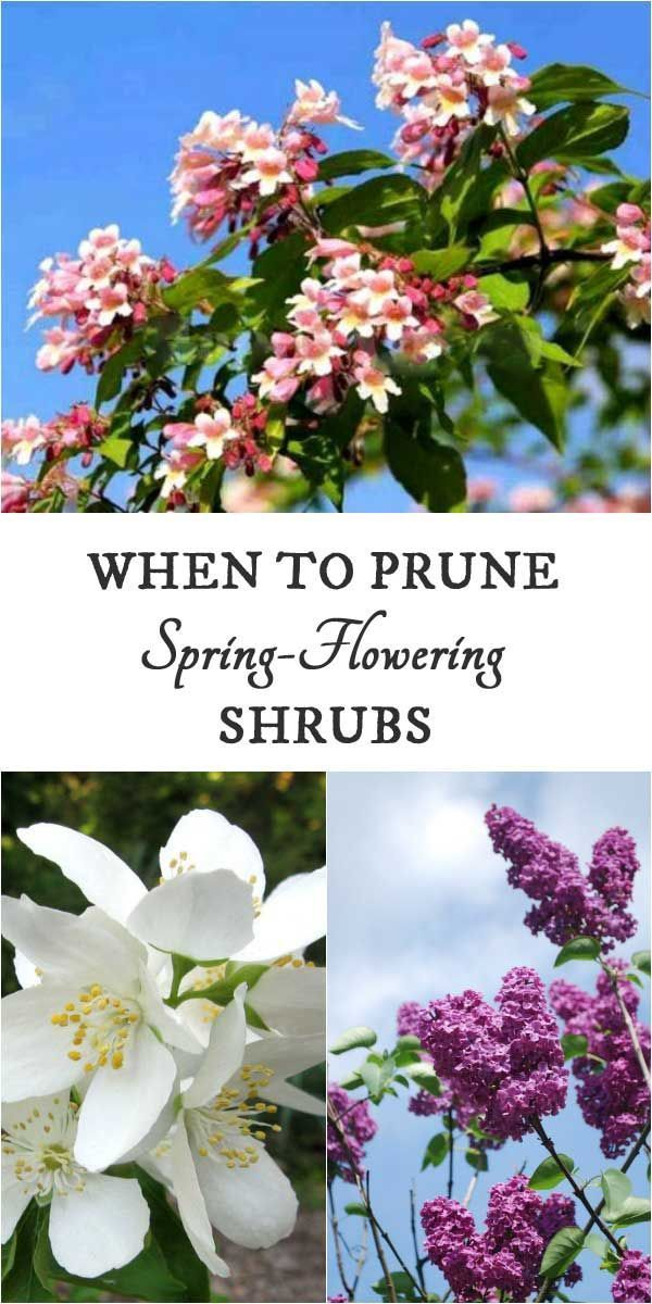 Along with flowering bulbs, early-flowering shrubs bring the spring garden to life. But what is the right time to prune them? Find out how to get the timing right so you don't miss out on blooms.